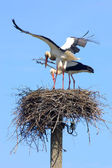 Pair of storks — Stock Photo