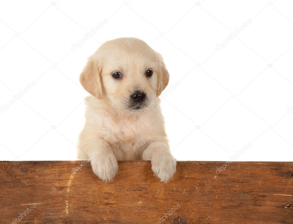 6 weeks old golden retriever puppy over a wooden fence — Stock Photo #10050540