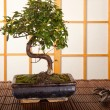 Stock Photo: Bonsai tree and pruning shears