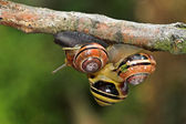 Three snails on top of eachother, challenging gravity — Stock Photo