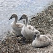 Baby swans — Stock Photo