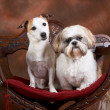 Jack and shih-tzu — Stock Photo