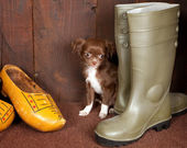 Chihuahua and shoes — Stock Photo