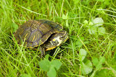 Turtle in grass — Stock Photo