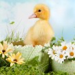 Peeping easter duckling — Stock Photo