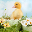 Stock Photo: Peeping easter duckling