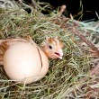 Stock Photo: Scared hatched chick