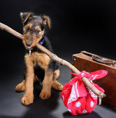 Travelling terrier — Stock Photo