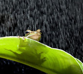 Frog in the rain — Stock Photo