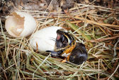 Last hatching effort of a duckling — Stock Photo