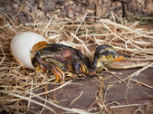 Resting duckling after hatch — Stock Photo