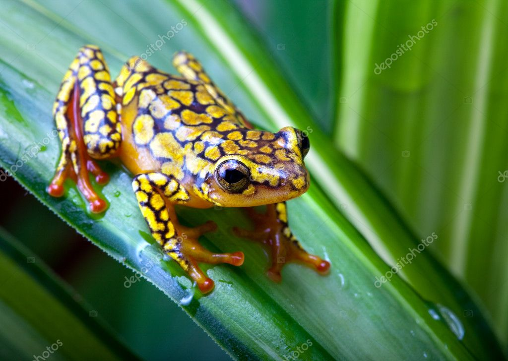 Harlequin Poison Dart Frog or Dendrobates histrionicus  Stock Photo #8644160