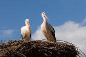 Guardando le cicogne sul nido — Foto Stock