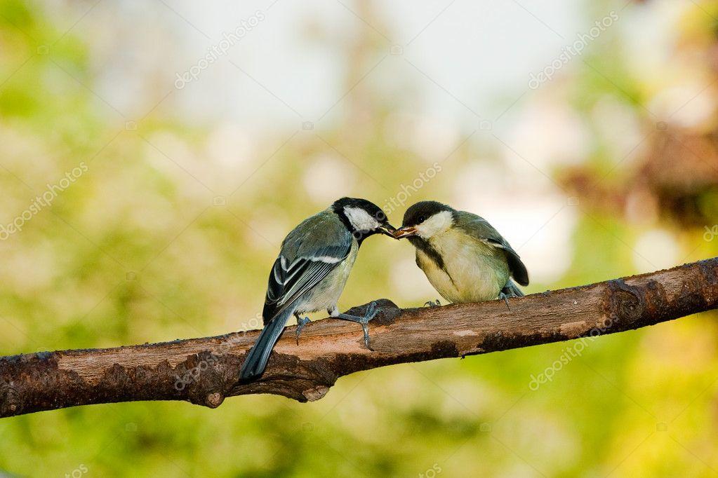 Uccelli cinciallegra alimentazione foto stock klanneke - Primavera uccelli primavera colorazione pagine ...