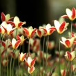 Stock Photo: Backlit tulips