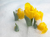 Yellow flowers in the snow — Stock Photo