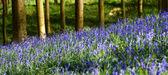 Hallerbos Hyacinths — Stock Photo