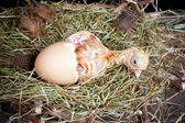 Chick in egg — 图库照片