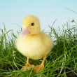 Duckling in grass — Stock Photo