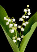 Muguet lillies — Stock Photo