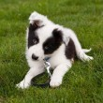 perro collie de frontera — Foto de Stock   #8857702