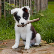 Royalty-Free Stock Photo: Border collie puppy on grass