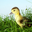 Duckling in grass — Stock Photo #8864325