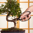 Pruning a bonsai tree - Stock Photo