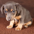 Stock Photo: Puppy jack russel