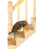 Funny turtle going down — Stock Photo