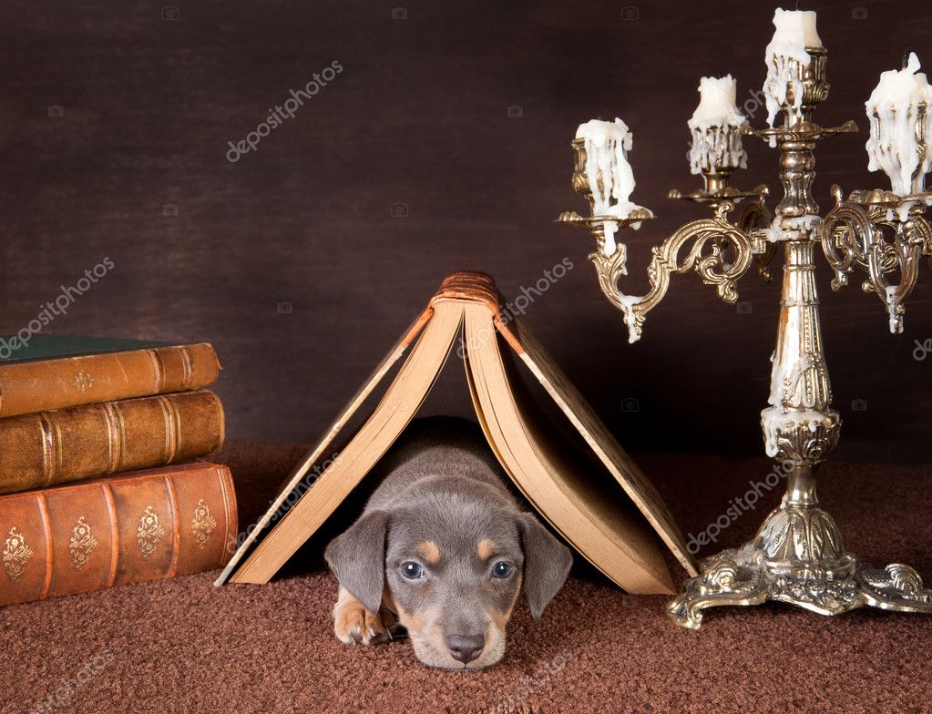 Jack russel puppy of six weeks old onder an open book at home — Stock Photo #8923535