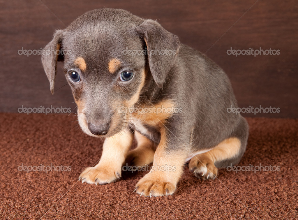 Portrait of a six weeks old adorable jack russel puppy dog — Stock Photo #8967262