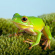 Tree frog on moss — Stock Photo