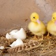Twin ducklings — Stock Photo