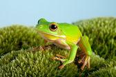 Tree frog on moss — Stock Photo