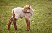 Baby lamb — Stock Photo