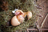 Chicken hatching — Stock Photo
