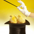 Chicks and magic wand — Stock Photo