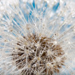 Wet dandelion — Stock Photo #9139373