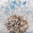 Wet dandelion — Stock Photo