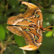 Постер, плакат: Atlas moth