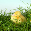 Sitting duck in grass — Stock Photo