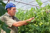 Greenhouse tomato crop — Stock Photo