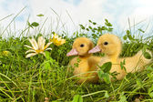 Duckling twins with easter — Stock Photo