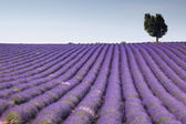 Fields of Provence — Stock Photo