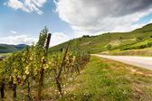 Vineyards in France — Stock Photo