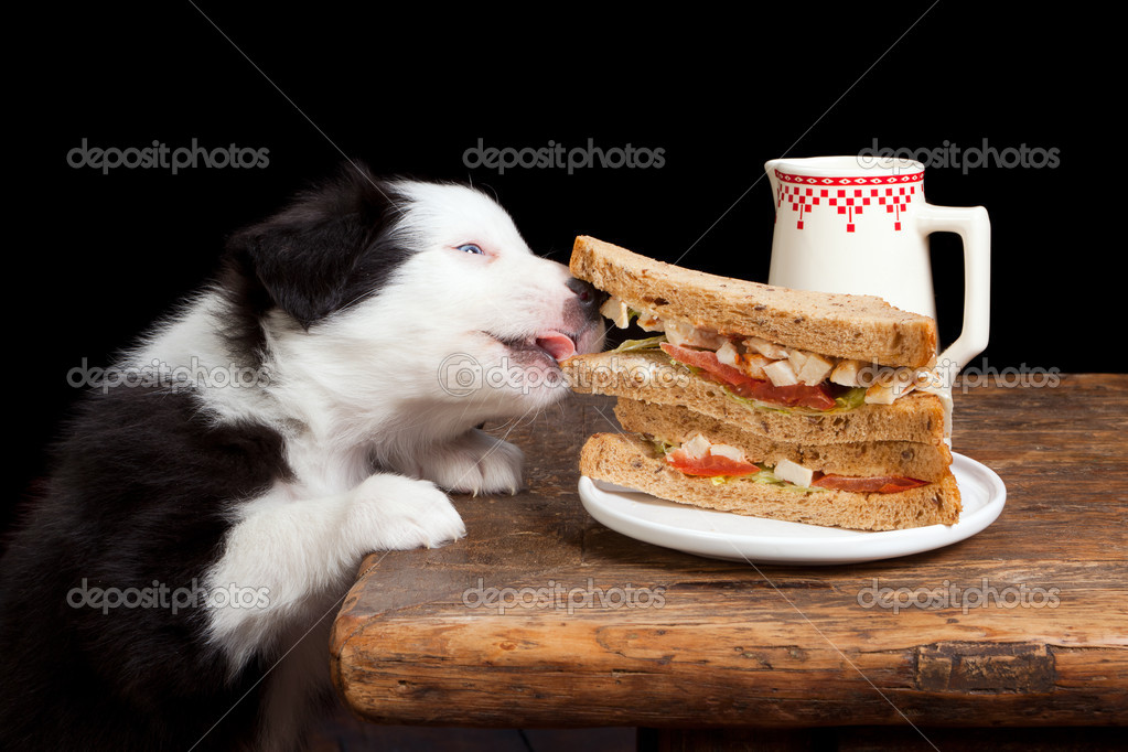 Border collie puppy steeling a sandwich from the table — Stock Photo #9410682