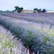 Provencal field of lavender - Foto Stock