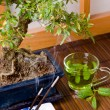Green tea and bonsai — Stock Photo
