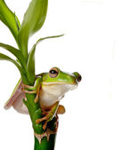 Frog on bamboo branch — Stock Photo